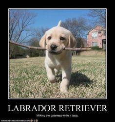 10 Reasons Why Labrador Retrievers Make Great Friends
