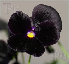 black pansy flower
