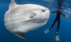 Bizarre-Looking Mola Mola Poses for its Close-Up Photographer Daniel Botelho spent a magical 30 minutes with this mola mola (also called a sunfish), capturing intimate portraits of the world's largest bony fish. Underwater Creatures, Underwater Life, Ocean Creatures, Beautiful Creatures, Animals Beautiful, Cute Animals, Baby Animals, Fauna Marina, Fish Pose