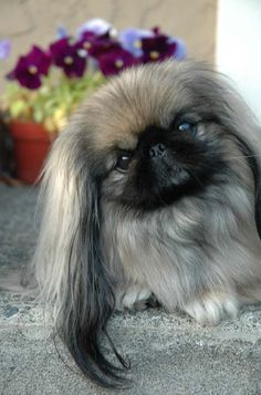 12 Realities That New Pekingese Owners Must Accept - 5. You will get A LOT of love