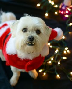 86a9c97b63ac 541 Best Christmas Dog images