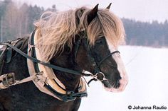 """The Finnhorse or Finnish Horse (Finnish: Suomenhevonen, literally """"horse of Finland""""; nickname: Suokki, or Swedish: Finskt kallblod, literally """"finnish cold-blood"""") is the only breed developed fully in Finland. In English it is sometimes called the Finnish Universal, as the Finns consider the breed capable of fulfilling all of Finland's horse needs, including agricultural and forestry work, harness racing, and riding. In 2007, the breed was declared the official national horse breed of…"""