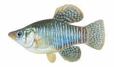 Fishes of Texas - Adinia xenica
