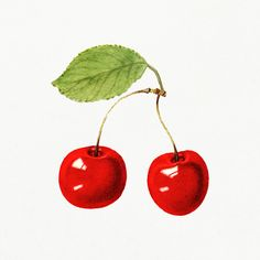 Vintage red cherries illustration mockup. Digitally enhanced illustration from U.S. Department of Agriculture Pomological Watercolor Collection. Rare and Special Collections, National Agricultural Library. | premium image by rawpixel.com / Aom Woraluck What Is Tumblr, Free Illustrations, Vintage Images, Mockup, Free Design, Vector Free, Cherries, How To Draw Hands, Old Things
