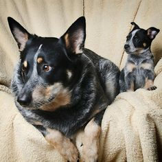 Blue Heeler Buddies by .bobby, via Flickr