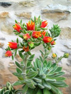 Echeveria 'Set-Oliver' is abranching, stemmed succulent plant, up to 12 inches (30 cm) tall. It has tight rosettes with lime-green hairy...