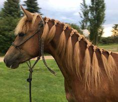 2016 Morgan Filly  CFR Smokin'Hot www.coyoteflatranch.com Saskatchewan Canada, Morgan Horse, Dressage, Ranch, Horses, Flat, Animals, Guest Ranch, Bass