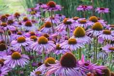 a touch of lilac on an autumn day Plants, Planting Flowers, Home And Garden, Flowers, Autumn Garden, Garden Oasis, Garden, Autumn Flowering Plants, Echinacea