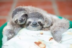Baby sloths at the Toucan rescue ranch Costa Rica