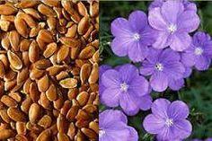 Картинки по запросу лен семена фото