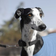 who said galgos are inexpresive?