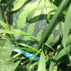 西瓜(縞王)  山梨県  Water Melon Shimaou Yamanashi