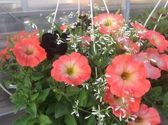 Petunia Ray Salmon, Petunia Ray Black with dainty PW Diamond Frost Euphorbia Begonia, Hanging Baskets, Frost, Salmon, Outdoor Living, Flowers, Plants, Gardening, Beautiful