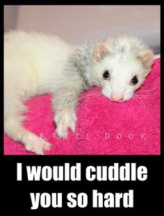 First of all, ferret. Second of all, I would cuddle this ferret. Third of all, this ferret would cuddle you. Fourth of all, we could cuddle this ferret together. And last of all, I would cuddle you.
