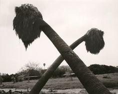 "Robert Adams, ""Dead Palms, Partially Uprooted, Ontario, California"" (1983) 