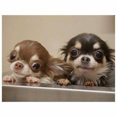 Really Cute Dogs, I Love Dogs, Chihuahua Puppies, Cute Puppies, Cute Animal Pictures, Dog Pictures, Cute Baby Animals, Funny Animals, Baby Dogs