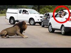 Lion Shows Tourists Why You Must Stay Inside Your Car - Latest Wildlife ...