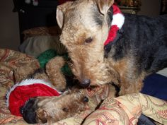 My Welshies: Solo (looking down) and Hestor who is lying down. At Christmas time!