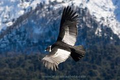 Andean Condor (Vultur gryphus) soaring over Conguillio National Park, Chile. Pablo Neruda, Andean Condor, Spain Culture, Birds Of Prey, Nature Animals, Wild Animals, Lake District, Owls, Animals