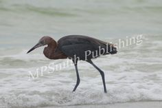 Reef Egret - https://melaniepsmith.com/downloads/reef-egret/ - Reef Egret | Florida 2015  Purchased photo will not contain watermark. You are purchasing a standard license Click Here for license details.  You may use this image in accordance with the license agreement in such things as web blogs, magazines, book covers, web design, etc.   - https://melaniepsmith.com/wp-content/uploads/2016/04/Reef-Egret-945x630.jpg