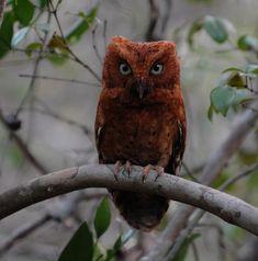 Sokoke Scops Owl (Otus ireneae) Rufous morph. Photo by Edward Camilleri. Arabuko-Sokoke forest, Eastern Kenya.