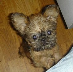 Broodle Griffon (Brussels Griffon-Poodle Mix) Info, Puppies, Temperament, Pictures