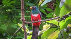 The Ecuadorian Trogon (Trogon mesurus) is a species of bird in the Trogonidae family. It is found in deciduous and semi-humid forest and woodland in western Ecuador and far north-western Peru.