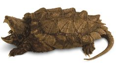 The alligator snapping turtle (Macrochelys temminckii) looks like a plated dinosaur. It has a worm-shaped appendage on its tongue to lure fish towards its mouth, which it then snaps shut with great force