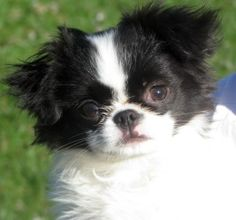 Java-Pending! is an adoptable Japanese Chin Dog in Owego, NY.  Name: Java  Age: DOB 12-29-11  Adoption Donation: $400  Current foster location: Binghamton NY area As a Volunteer Rescue Organization - ...