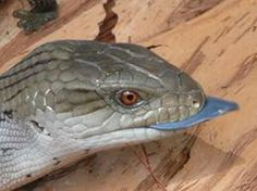 Now you know why they call them Blue Tongue Lizards. This is an Eastern Blue Tongue.