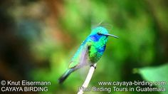 Video of a Green Violet-ear (Colibri thalassinus) in the highlands of Guatemala.