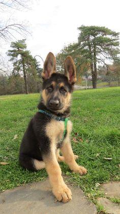 german shepherd...a true best friend. <3 Love when they haven't grown into their ears yet :)