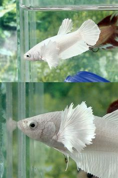 White Platimun Big Ear Female #Betta - You have not seen one like this before
