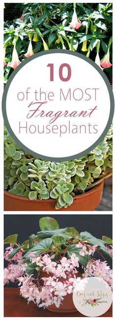 10 of the MOST Fragrant Houseplants - Bees and Roses