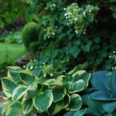 Climbing hydrangea and hostas. I keep them all in pots on my deck. Have a…