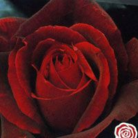Mister Lincoln Rose Note Beautiful But Summerstone Nursery Has Terrible Reviews Mr