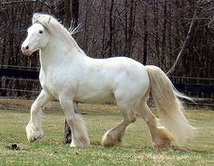 More snow white gypsy vanner All The Pretty Horses, Beautiful Horses, Animals Beautiful, Koi, Shire Horse, Riding School, Gypsy Horse, Interesting Animals, Draft Horses
