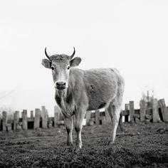 Kühe in Europa: Wer ist die Schönste im ganzen Land? – Seite 6 | Lebensart | ZEIT ONLINE