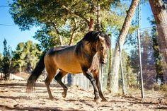 Morisco XII Andalusian Horse, Horses, Animals, Beauty, Animales, Animaux, Animal, Animais, Beauty Illustration