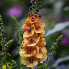 *** Buy mullein Verbascum 'Clementine': Delivery by Crocus