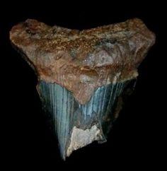 Partial Megaladon Tooth