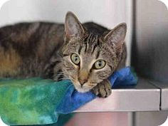 3/1/17 URGENT! Fort Lauderdale, FL - Domestic Mediumhair. Meet FIONA, a cat for adoption.  Broward County Animal Care & Adoption Pet ID #: 11037098-A1871655 Phone: (954) 359-1313  http://www.adoptapet.com/pet/17499624-fort-lauderdale-florida-cat