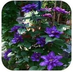 Vine Clematis potted clematis garden flowers, 20 seeds