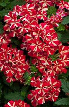 """Red Verbena Easy to care for, Verbenaceae verbena """"Voodoo Star"""" attracts butterflies, birds, and bees to the garden."""