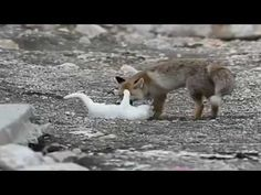 Somewhere In Turkey, A Wild Cat And A Fox Are Best Friends | HuffPost