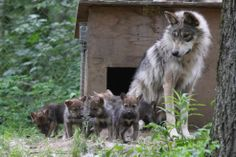 Wolf and cubs