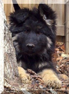 long haired German Shepherd I WANT... IT'S SO FLUFFY I'M GONNA DIE