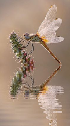 Dragonfly and reflection Dragonfly Photos, Dragonfly Insect, Dragonfly Tattoo, Dragonfly Photography, Macro Photography, Beautiful Bugs, Beautiful Butterflies, Mantis Religiosa, Cool Bugs