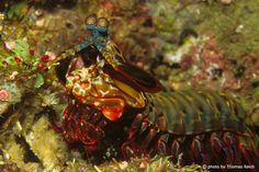 Fangschreckenkrebs (Stomatopoda)