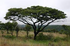 Burkea africana (Wild seringa) - Warthog Lodge